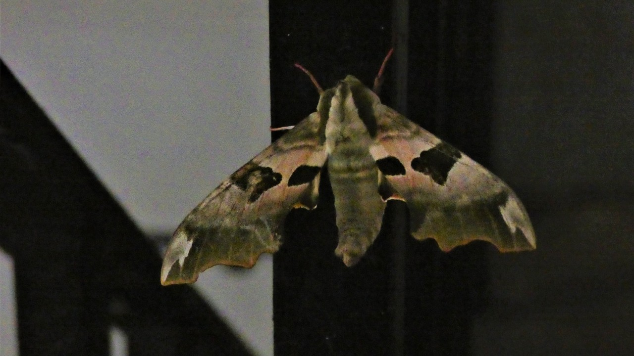 A rather fine lime hawk-moth that's been camping in our stairwell... #moths#insects cw#bugs cw