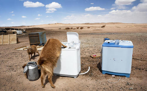 A thirsty goat sneaks water from a washing machine. The herder family living here runs it with a generator.