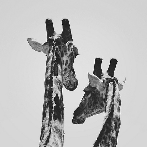 car-pe-di-um:   Giraffes | via Tumblr on We Heart It. The hair that makes up a giraffes tail is about 10 times thicker than the average strand of human hair