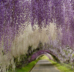 visitheworld:  Wisteria Tunnel at the Kawachi Fuji Gardens in Kitakyushu, Japan (by WeddingDressesUK).