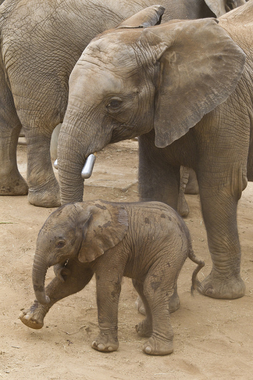 llbwwb:   Awww,Elephant calf at the Safari Park (by Official San Diego Zoo)