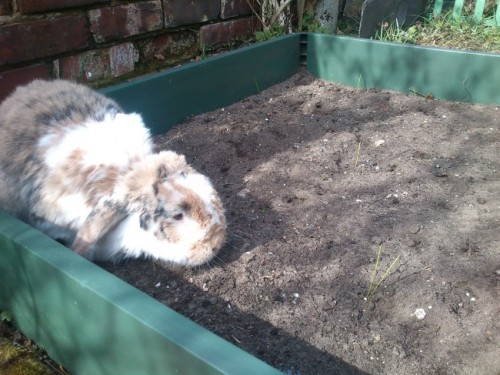 dailybunny:  Impatient Bunny Checks the Newly-Planted Garden for Vegetables Thanks, Leonie and bunny Mr. Fudgington!
