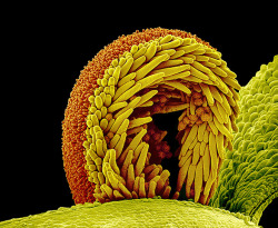 Pollen on the stigma of a sunflower plant (Helianthus sp.).    The stigma, part of the flower's female reproductive structure, is curled over here, with pollen grains (spiky orange balls) adhering to the yellow trichomes (hairs) on its underside  Photograph: Susumu Nishinaga/Science Photo Library