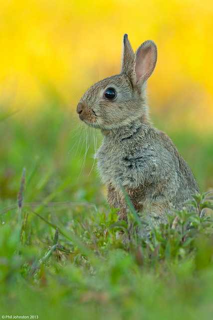 transylvanialand:  European Rabbit (Oryctolagus cuniculus) by Phil-Johnston on Flickr.