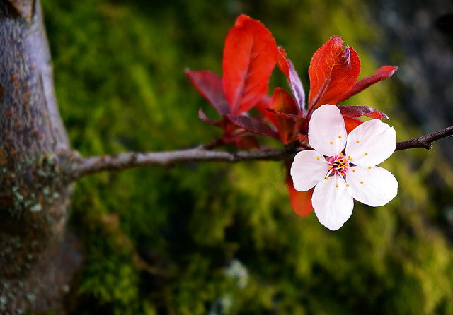The Plum Blossom by TOTORORO.RORO on Flickr.
