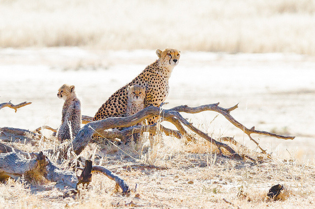 tigersandcompany:  Mother cheetah with her two cubs (by Taraji Blue)