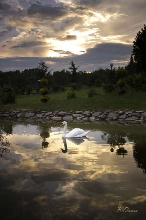 earth-song:  swan on the clouds by ~panosreiko