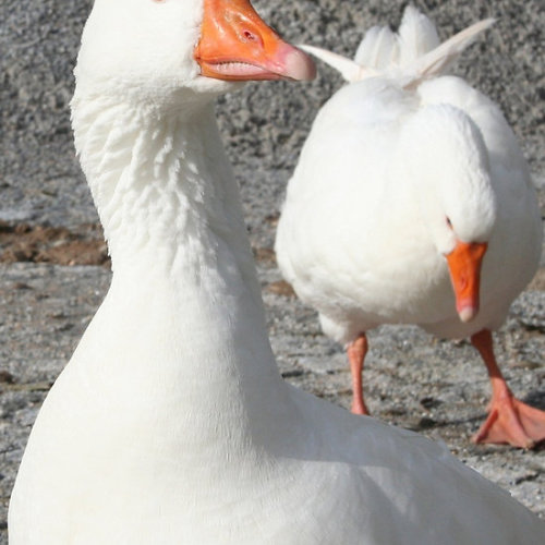 Wild White Goose Geese are waterfowl belonging to the tribe Anserini of the family Anatidae. This tribe comprises the genera Anser (the grey geese), Branta (the black geese) and Chen (the white geese).