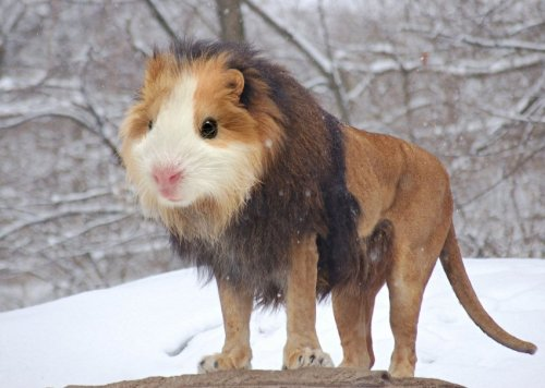 Not a Photoshop: Guinea Lion