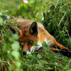 blackandwhitecatfoot:  Red Fox by Martin Pettitt