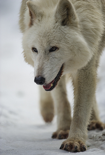 ac0n1tum:  Wolf-29 by Dan Newcomb Photography on Flickr.