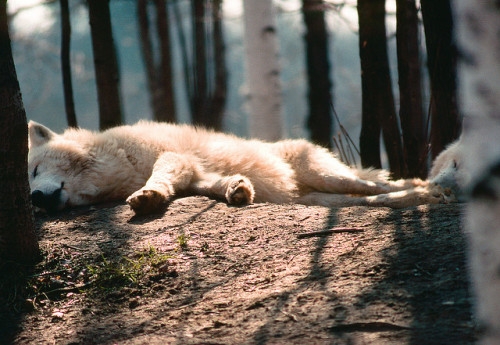 uncoverinq:  Sleeping Wolves (by Troy Hacker)