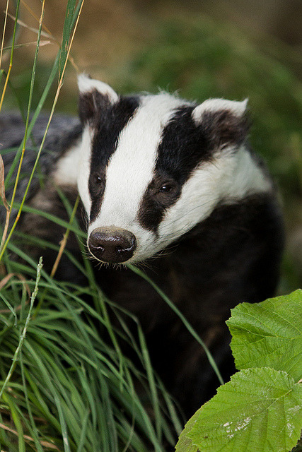 European Badger at the British Wildlife Centre by Sophie L. Miller on Flickr.