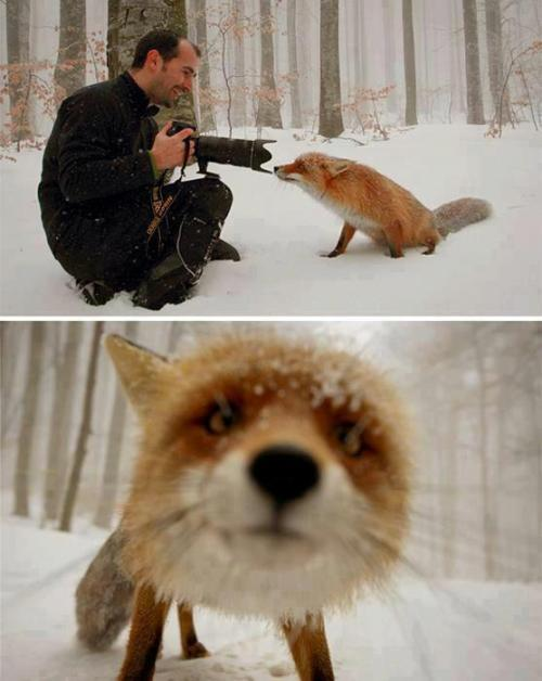 lizardking90:  The curious fox, St Ana Lake, Romania - 19 Jan 2013 — with Nicolas Fox Costa.