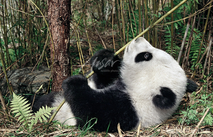 Explore Your World Whether your a human cub or a panda cub, play and pretend teaches offspring about their physical capabilities and helps them to learn the life skills necessary to the world around them. (Read more here.)  Check out more playful pandas here at explore.org.