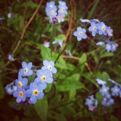 My little forget-me-nots braving this thunderstorm // #flowers #garden #green #water #waterdrops #rain #storm #vscocam