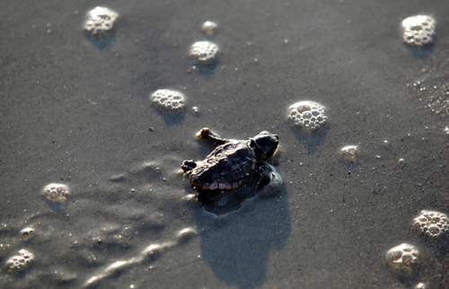 ecocides:  A Loggerhead turtle hatchling makes its way to the surf at Myrtle Beach state park, in South Carolina. Habitats that could save threatened loggerhead sea turtles from extinction were identified by the US government along 750 miles of Atlantic and Gulf Coast shorelines in six states | image Randall Hill