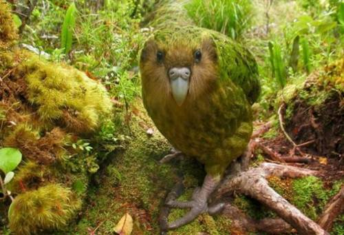 pbsnature:  Happy Friday from our #FeaturedCreature the kakapo, a large flightless parrot native to New Zealand. Learn more: http://to.pbs.org/1CaslXv