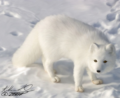 llbwwb:  Arctic Fox -Update- by ~KatsRaven .