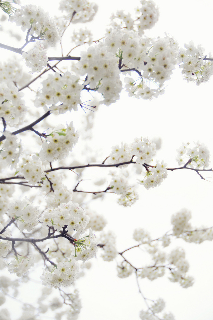 nosens:  white blossoms (by Creature Comforts)