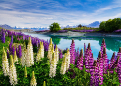 rorschachx:  Lupins in full bloom - Lake Tekapo, New Zealand | image by David Hardy