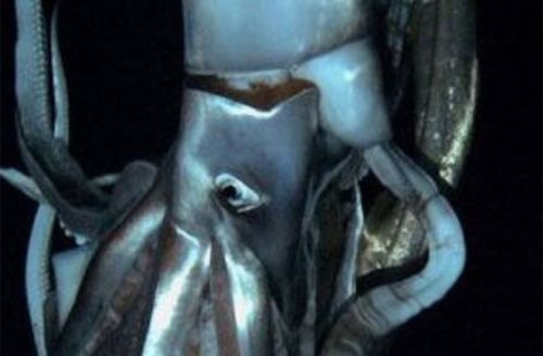 Giant Squid Photos  What has eight arms with hundreds of suckers, eyes the size of grapefruit and a razor-sharp beak? A giant squid! A team of scientists and the Discovery Channel shot footage of this notoriously elusive creature in action. Open the Discovery News gallery…