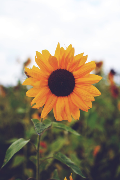 r4zor:  sunflowers are crazy beautiful