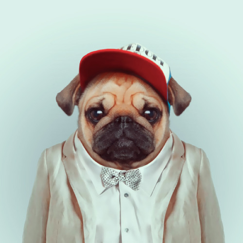 zooportraits:  PUG by Yago Partal for ZOO PORTRAITS