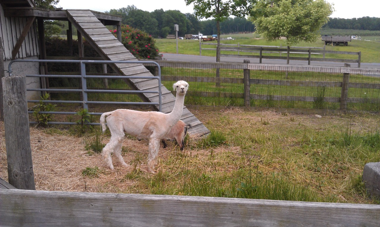 wheresalpaca:  Day 1 at the farm. This, I suspect, is an alpaca — as its relatively small stature (in comparison to the common domesticated llama) appears to indicate. And I found it! Can you? Where's Waldo Alpaca? As today's look-and-find ought to be fairly easy, I'm offering a slightly tougher challenge: how many goats are pictured here?  It begins… the hunt for alpaca… or something. I've created a new blog because every day I'm on the farm, I will be checking on my pal Alpaca — why? Because he's there. Or perhaps he's a she… or not an alpaca at all… and whatever it is, it's not alone… the plot thickens. Anyway follow this blog for alpaca-finding shenanigans! You know you want to. Where's Alpaca? There's Alpaca!