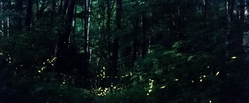 benmckamey:  Fireflies at Night Location: Little River, Great Smoky Mountains Nikon D90 + Adobe Lightroom