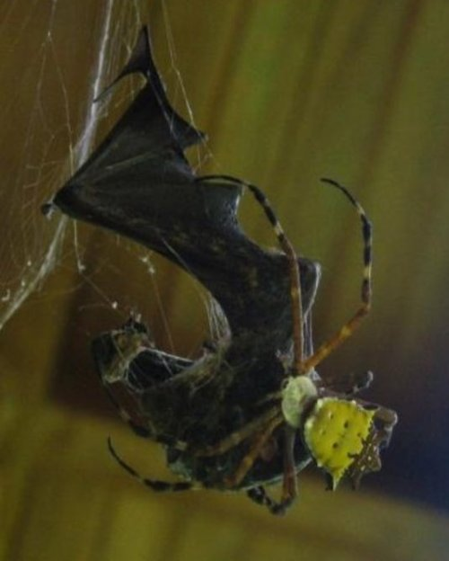 Bat-Eating Spiders: The Most Terrifying Thing You'll See Today via @Prosopopea Adult Proboscis Bat (Rhynchonycteris naso) entangled in a web of Argiope savignyi at the La Selva Biological Station, northern Costa Rica (photo by Mirjam Knörnschild, Ulm, Germany). Image extracted from:Nyffeler M. & Knörnschild M. (2013). Bat predation by spiders., PloS one,    PMID: 23516436