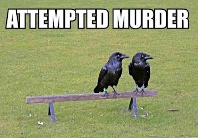 "georgetakei:  Just winging this pun. (A flock of three or more crows is called a ""murder"".)"