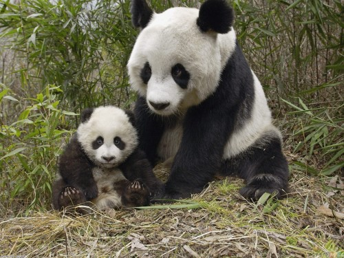 wtwtare:  panda cub with mother panda