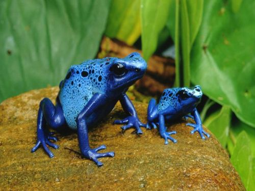 lizardking90:  Blue Poison Dart Frogs Photograph by George Grall