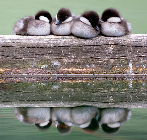 manolescent:  Cute Ducklings Sleeping