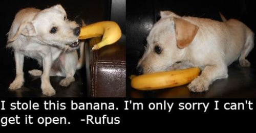 dogshaming:  Adoptable Fridays - Rufus  Rufus is a very energetic and playful 10 month old puppy who lives in Phoenix, AX and is being…  View Post