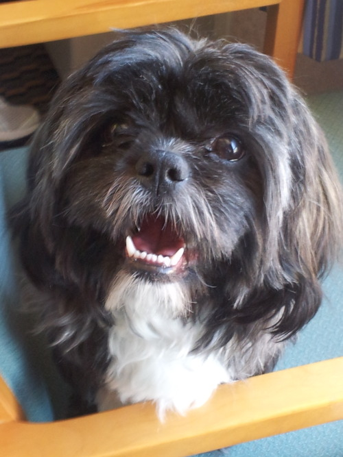 handsomedogs:  My 9 month old Shih Tzu/Pekingese puppy! His name is Teddy! ♥  This is my baby!!! ;u; ♥♥♥