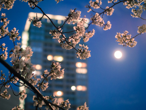 ileftmyheartintokyo:  Sakura in your city by tantake on Flickr.