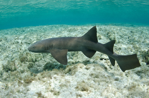 sharkpics:  nurse shark