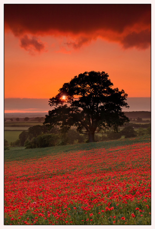 Oxfordshire Poppies (by Phil Selby)