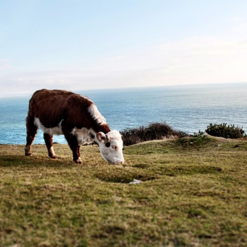 Surf and turf (at Durlston Country Park)