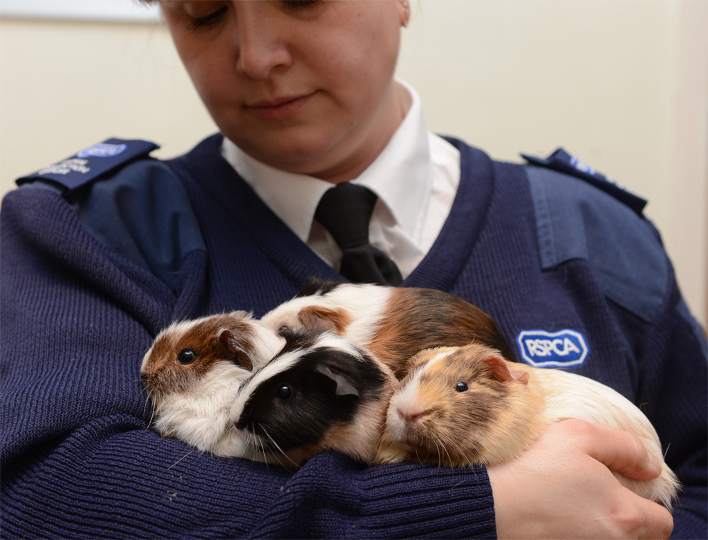 A family of guinea pigs have been abandoned in Debenhams store in Hemel  They are being looked after by the RSPCA in Dunstable. Click here to read the full story and video Picture taken by Jane Russell