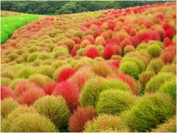 Hitachi Seaside Flower ParkJapan