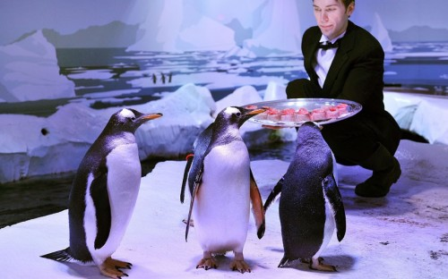 allcreatures:   Gentoo Penguins at the London Aquarium are presented with a Fishmas Dinner by waiter Tom Pockert…  Picture: John Stillwell/PA (via Pictures of the day: 19 December 2012 - Telegraph)