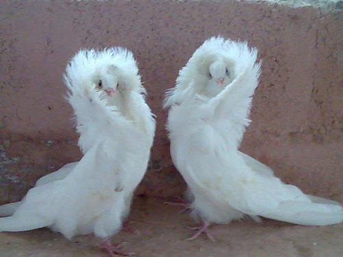 capricorn-libra:  These pigeons are more fashionable than I am.