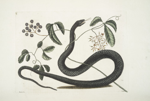 compendium-of-beasts:  Frutex &c.; Anguis &c., The Black-Snake. (1754)  via NYPL