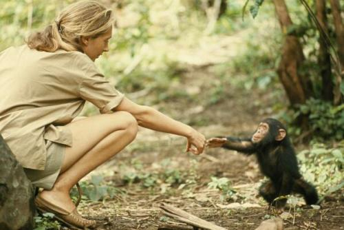 Beautiful photo of chimpanzee researcher Jane Goodall touching hands with a young chimpanzee. Tanzania, 1964   — Twitter / History_Pics: Beautiful photo of chimpanzee …