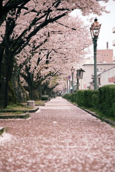 Cherry trees - or just a tree with flowers - AMAZING! :D