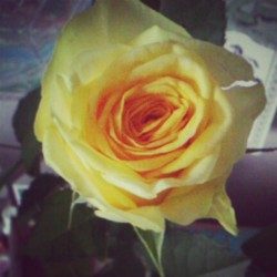 #rose #yellow #thankmummy