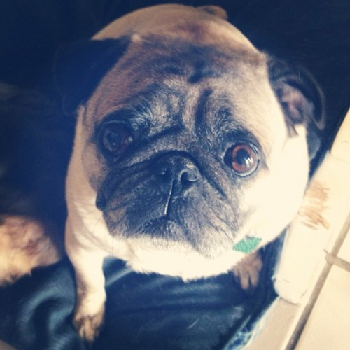 This is the amazing Gizmo! Please follow @imbenofficial ! #pugs #pug #pugsofinstagram